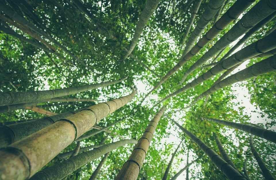 Bambus Wald