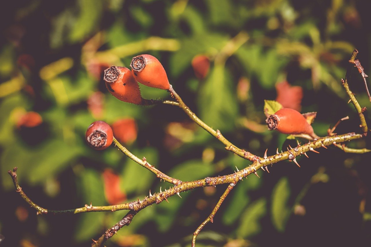 Hagebutte bereichert naturnahe Gärten